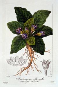 Mandragora Officinarum, 1836 by Pancrace Bessa