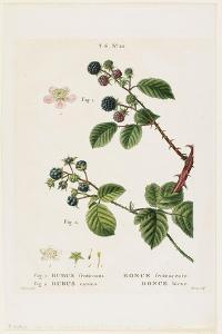Ronce Frutescente. Ronce Bleue, from Traites Des Arbres Et Fruitiers, 1801-1819 by Pancrace Bessa