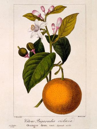 Sweet Orange: Citrus Sinensis Var. Bigaradia Violacea, 1836