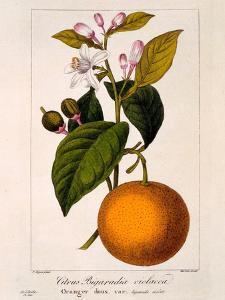 Sweet Orange: Citrus Sinensis Var. Bigaradia Violacea, 1836 by Pancrace Bessa