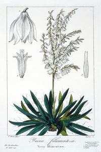 Yucca Filamentosa, 1836 by Pancrace Bessa