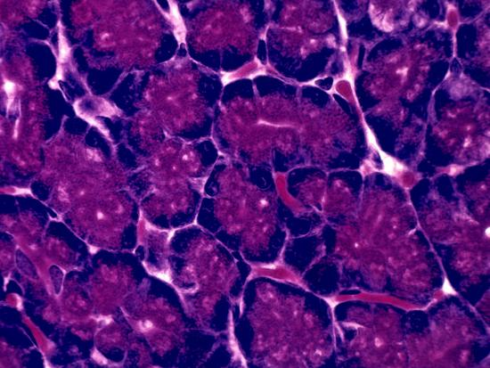 Pancreas-David Phillips-Photographic Print