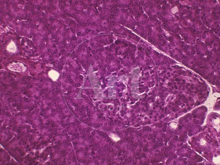 Pancreatic Acini And Islets X100 Photographic Print By Art