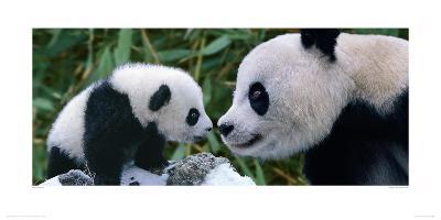 Panda Bear With Cub-Steve Bloom-Giclee Print