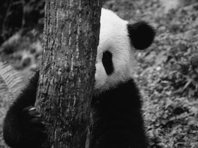 Panda Behind a Tree-Keren Su-Photographic Print