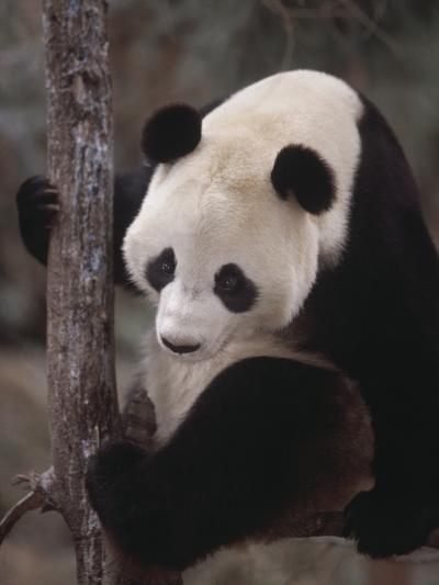 Panda Climbing Tree--Photographic Print