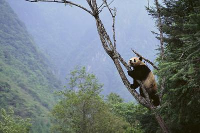 Panda Climbing Tree-DLILLC-Photographic Print