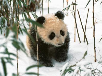 Panda Cub on Snow, Wolong, Sichuan, China-Keren Su-Photographic Print