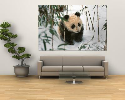 Panda Cub on Snow, Wolong, Sichuan, China-Keren Su-Giant Art Print