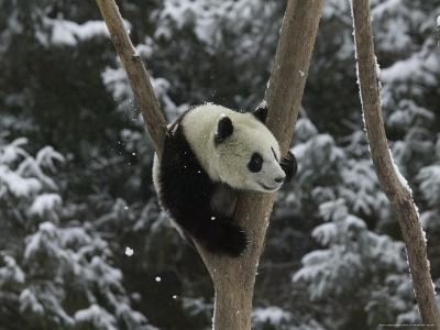 Panda Cub Playing on Tree in Snow, Wolong, Sichuan, China-Keren Su-Photographic Print