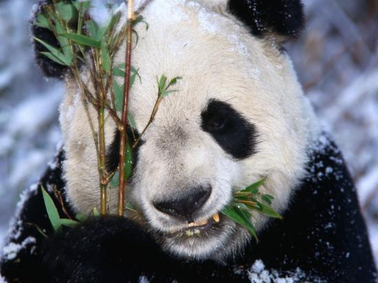 Panda Eating Bamboo in the Wolong Valley at the Sleepy Dragon Nature Reserve, Sichuan, China-Keren Su-Photographic Print