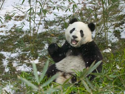 Panda Eating Bamboo on Snow, Wolong, Sichuan, China-Keren Su-Photographic Print