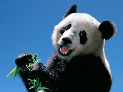 Panda Eating Bamboo, Wolong, Sichuan, China-Keren Su-Photographic Print