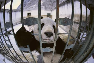 Panda in Cage-DLILLC-Photographic Print
