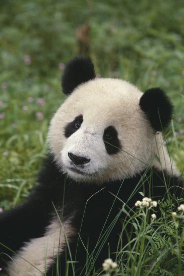 Panda in Grass-DLILLC-Photographic Print
