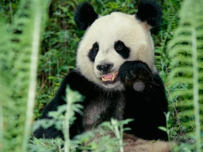 Panda in the Forest, Wolong, Sichuan, China-Keren Su-Photographic Print