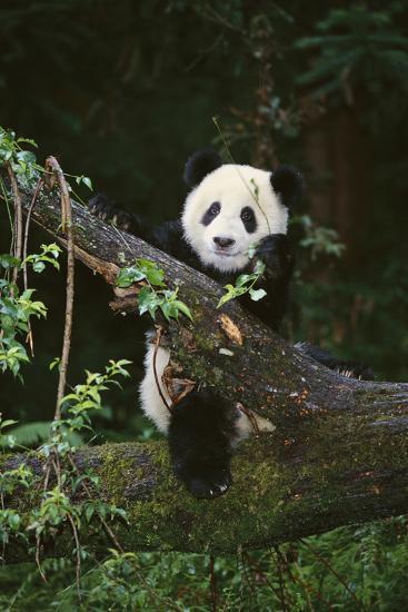 Panda on Fallen Tree-DLILLC-Photographic Print