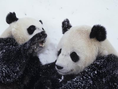 Pandas at the National Zoo in Washington, DC-Taylor S^ Kennedy-Photographic Print