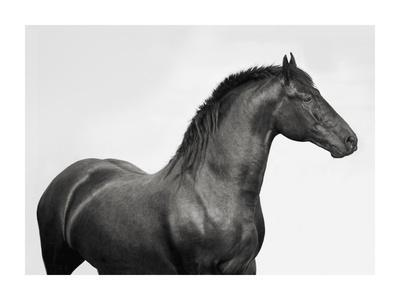 King Mamba, Stallion