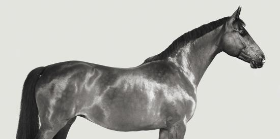 pangea-images-kingsman-cavalier-english-thoroughbred