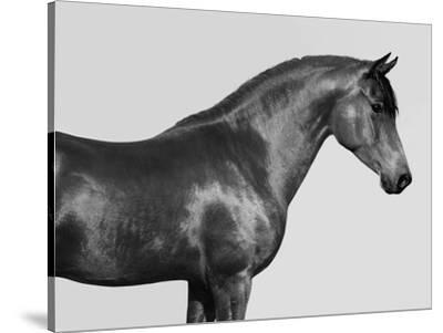 Orpheus, Arab Horse by Pangea Images