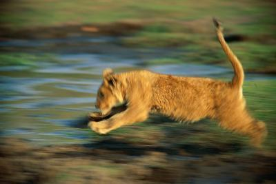 Panned View of a Young African Lion Running-Beverly Joubert-Photographic Print