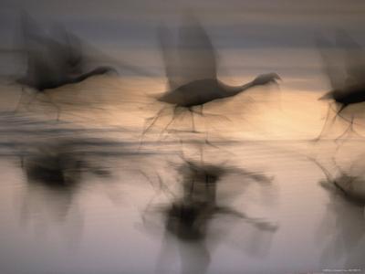 Panned View of Flamingos Preparing to Take Flight-Joel Sartore-Photographic Print