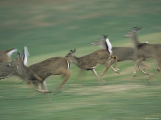 Panned View of White-Tailed Deer (Odocoileus Virginianus) Running-Michael Fay-Photographic Print