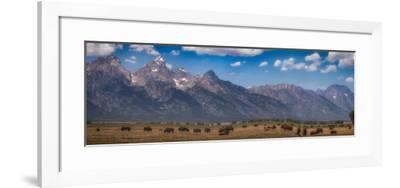 Panorama. Buffalo Herd with Grand Teton Mountains behind. Grand Teton National Park, Wyoming.-Tom Norring-Framed Photographic Print