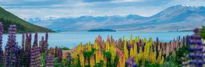 Panorama Landscape at Lake Tekapo and Lupine Flower Background in New Zealand. the Flower Field Hit