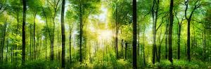 Panorama of a Scenic Forest of Fresh Green Deciduous Trees with the Sun Casting its Rays of Light T