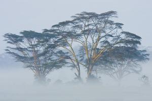 Acacia Trees covered by mist, Lake Nakuru, Kenya by Panoramic Images