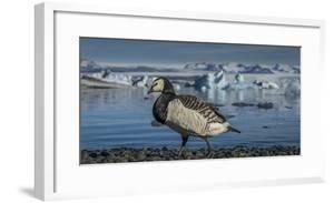 Barnacle goose (Branta leucopsis) by the glacial lagoon, Jokulsarlon, Iceland. by Panoramic Images