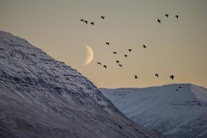 Birds flying in the moonlight, Akureyri, Iceland by Panoramic Images