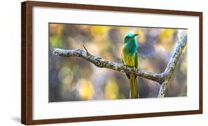Blue-bearded bee-eater (Nyctyornis athertoni) on tree branch, India by Panoramic Images
