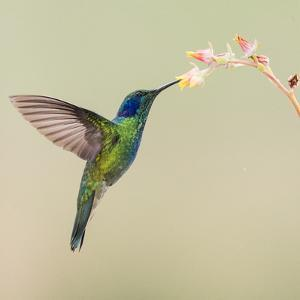Blue-eared violet hummingbird feeding on flower, Talamanca Mountains, Costa Rica by Panoramic Images
