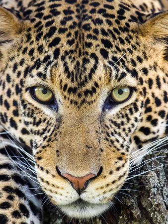 Close up of cheetah (Acinonyx jubatus) , Ngorongoro Conservation Area, Tanzania, Africa