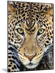 Close up of cheetah (Acinonyx jubatus) , Ngorongoro Conservation Area, Tanzania, Africa by Panoramic Images