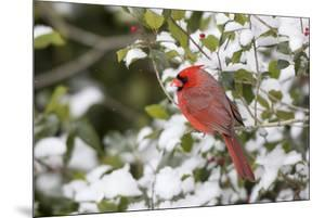 Close-up of male Northern Cardinal (Cardinalis cardinalis) in American Holly (Ilex opaca), Mario... by Panoramic Images