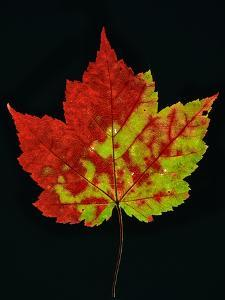 Close-up of Red Maple (Acer rubrum) leaf against black background by Panoramic Images
