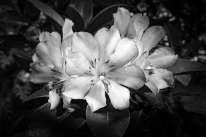 Close-up of Rhododendron flowers, California, USA by Panoramic Images