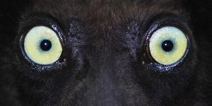 Close-up photo of black lemur (Eulemur macaco) eyes, Palmarium, Madagascar by Panoramic Images
