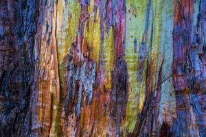 Detail of colorful trunk of a wet Eucalyptus tree, Oakland, Alameda County, California, USA by Panoramic Images