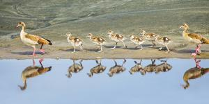 Egyptian goose (Alopochen aegyptiaca) family with goslings, Tanzania, Africa by Panoramic Images