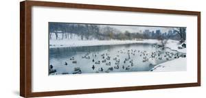 Flock of ducks swimming in pond in winter, Central Park, Manhattan, New York City, New York Stat... by Panoramic Images