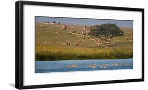 Flock of lesser flamingoes (Phoenicoparrus minor) flying and wading, Serengeti National Park, Ta... by Panoramic Images