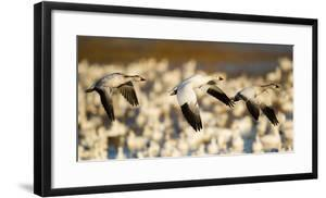 Group of snow geese (Anser caerulescens) flying, Soccoro, New Mexico, USA by Panoramic Images