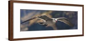 Heermann's gull (Larus heermanni) breeding plumage, Sea of Cortez, Baja California, Mexico by Panoramic Images