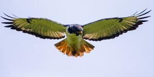 Isolated augur buzzard bird (Buteo augur) presenting wingspan in flight, Ngorongoro Conservation... by Panoramic Images