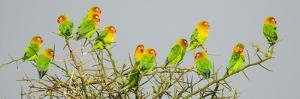 Large group of Fischers lovebirds (Agapornis fischeri) perching on tree, Serengeti National Park... by Panoramic Images